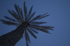 This botanical family of shrubs also called as palm tree is standing high tall. It is beautifully blended with its sky background stock photography