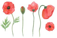 Botanical floral set of poppies. hand drawn watercolor. stock illustration