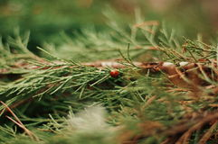 Ladybug on a leaflet. Red bug on the grass. Insects. Background wild nature. Macro, botanical, fir , ladybug sits on a green fir,  Stock Photography