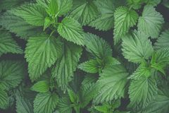 Botanical Foliage Background of Nettle Bush Leaves Pattern. Vibrant Green Yellowish Colors. Trendy Hipster Style Matte Effect. Template for Poster Banner Stock Photography