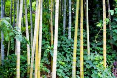 Bamboos in The Botanical Garden Royalty Free Stock Photo