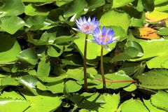 Botanical garden in Durban, South Africa. Blue lilies in Botanical garden in the city of Durban, South Africa stock image