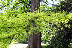 Botanical garden,old cedar,Zagreb,4 Royalty Free Stock Image