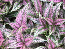 Botanical Garden purple and green plant. Royalty Free Stock Image