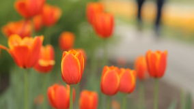 Botanical garden tulip flowers. Botanical garden tulip flower bed and people background it stock video footage