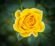 Botanical Garden Yellow Rose Stock Photography
