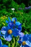 The botanical gardens of Akureyri. Flowers in the botanical gardens of Akureyri, Iceland Stock Photo