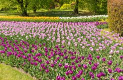 Botanical Gardens of Villa Taranto with colorful tulips in bloom, Pallanza,Italy. Royalty Free Stock Image