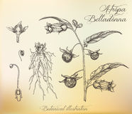 Botanical illustration. Dashed outline of  plant. Belladonna. Royalty Free Stock Photography