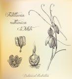 Botanical illustration. Dashed outline of  plant. Fritillaria mi Stock Image