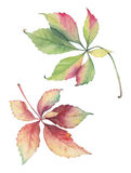 Botanical illustration of Parthenocissus grape leaves. Royalty Free Stock Photos