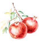 Botanical illustration pomegranate watercolor illustration Stock Photography