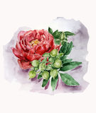 Botanical illustration. Red peony with green leaves. Hand drawn watercolor illustration Stock Images