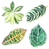 Botanical illustration of several tropical variegated leaves iso Stock Photography