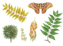 Botanical illustration of tree of heaven and butterfly silkmoth