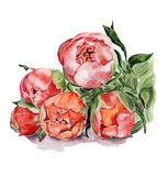 Botanical illustration. Unopened peonies. Hand drawn watercolor illustration Royalty Free Stock Image
