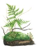 Botanical illustration. Watercolor moss and fern. Bonsai Stock Photography