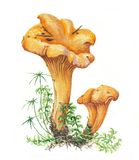 Botanical illustration. Watercolor mushrooms. And moss Stock Images
