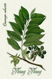 Vintage Botanical illustration of Ylang-Ylang Stock Images