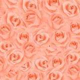 Botanical illustration for your invitation and congratulations.Tea-rose royalty free illustration