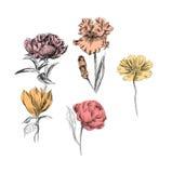 Botanical plant illustration.handrawn Royalty Free Stock Photos