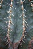 Macro detail close-up of spiky cactus species stenocereus pruinosus. Botanical portrait spiky cactus species stenocereus pruinosus up close detail macro stock photo