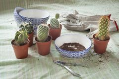 Group of small cactus being replanted on green vintage fabric with dirt, with pincers and gloves. Botanical replanting concept represented by a small cactus on royalty free stock images