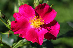 Botanical rose- Rosa rugosa Stock Photography