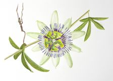 Watercolor painting of passiflora flower stock images