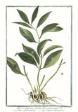 Botanical vintage illustration of Ruscus latifolius fructu folio innascente plant. Old illustration of Ruscus latifolius fructu folio innascente. By G. Bonelli Royalty Free Stock Images
