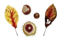 Botanical watercolor with autumn leaf and chesnut. Botanical watercolor with nut, chesnut and autumn yellow leaf Stock Photography