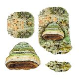 Botanical watercolor illustration of bark and mushroom polyporales on white background. Could be used as decoration for web design, polygraphy or textile Royalty Free Stock Images