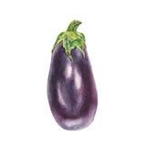 Botanical watercolor illustration of blue eggplant aubergine on white background Royalty Free Stock Photo
