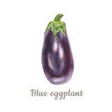 Botanical watercolor illustration of blue eggplant aubergine on white background Royalty Free Stock Photography