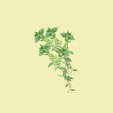 Botanical watercolor illustration of branch of thyme isolated on light yellow background Royalty Free Stock Photos