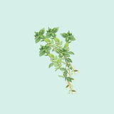 Botanical watercolor illustration of branch of thyme  on light blue background Royalty Free Stock Photo