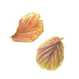 Botanical watercolor illustration of colorful begonia leaves on white background Royalty Free Stock Photos