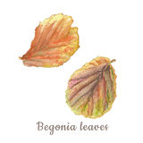 Botanical watercolor illustration of colorful begonia leaves on white background Stock Photos
