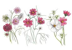 Botanical watercolor illustration of cosmos flowers. royalty free illustration