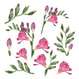 Botanical watercolor illustration of freesia on white background.. Botanical watercolor illustration of freesia on white background. Could be used as Royalty Free Stock Image