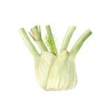 Botanical watercolor illustration of Fresh fennel bulb isolated on white background Stock Photos