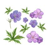 Botanical watercolor illustration of lilac geranium flowers and green leaves isolated on white background royalty free illustration