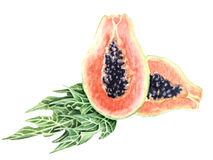 Botanical watercolor illustration Papaya Royalty Free Stock Image