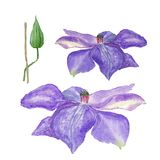 Botanical watercolor illustration sketch of blue clematis flower and a bud on white background Royalty Free Stock Image