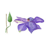 Botanical watercolor illustration sketch of blue clematis flower and a bud on white background Stock Photo