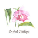 Botanical watercolor illustration sketch of pink cattleya flower on white background Royalty Free Stock Images