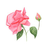 Botanical watercolor illustration sketch of pink rose and rose bud on white background Stock Photo