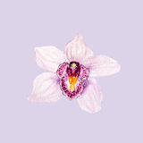 Botanical watercolor illustration sketch of pink tropical orchid flower on lilac background Royalty Free Stock Photography