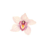 Botanical watercolor illustration sketch of pink tropical orchid flower on white background. Could be used as decoration for web design, cosmetics design Stock Photo