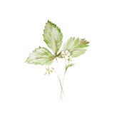 Botanical watercolor illustration sketch of strawberry with flowers and green leaves isolated painted herbs on white Stock Photography